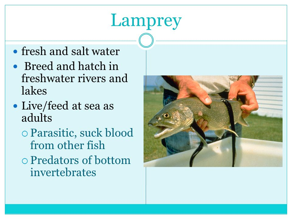 Lamprey fresh and salt water Breed and hatch in freshwater rivers and lakes Live/feed at sea as adults  Parasitic, suck blood from other fish  Predators of bottom invertebrates