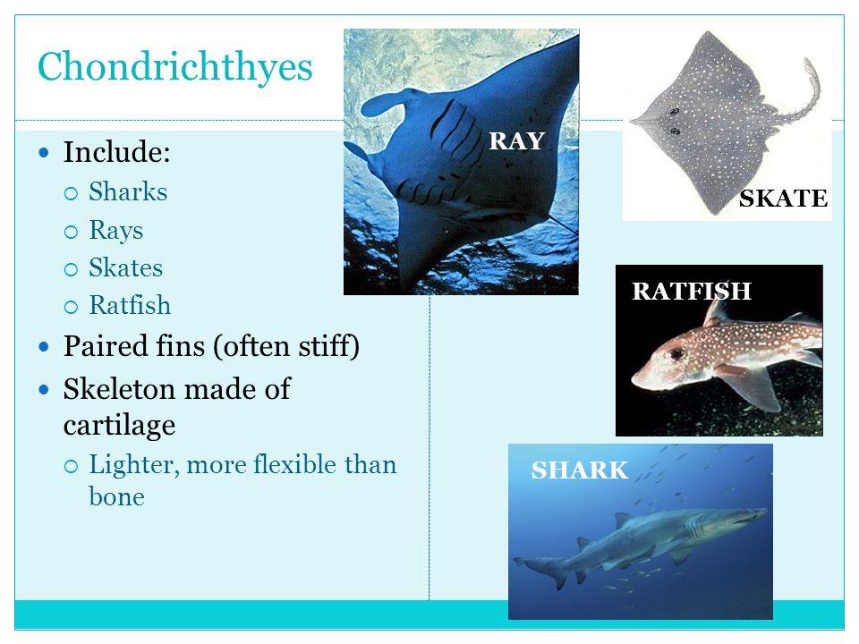 Chondrichthyes Include:  Sharks  Rays  Skates  Ratfish Paired fins (often stiff) Skeleton made of cartilage  Lighter, more flexible than bone RAY RATFISH SHARK SKATE