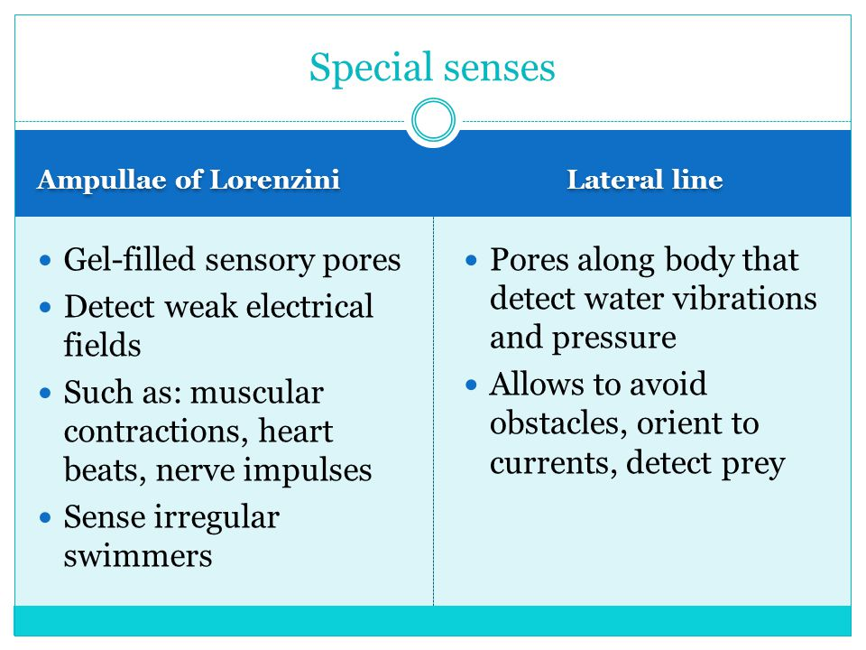 Ampullae of Lorenzini Lateral line Gel-filled sensory pores Detect weak electrical fields Such as: muscular contractions, heart beats, nerve impulses Sense irregular swimmers Pores along body that detect water vibrations and pressure Allows to avoid obstacles, orient to currents, detect prey Special senses