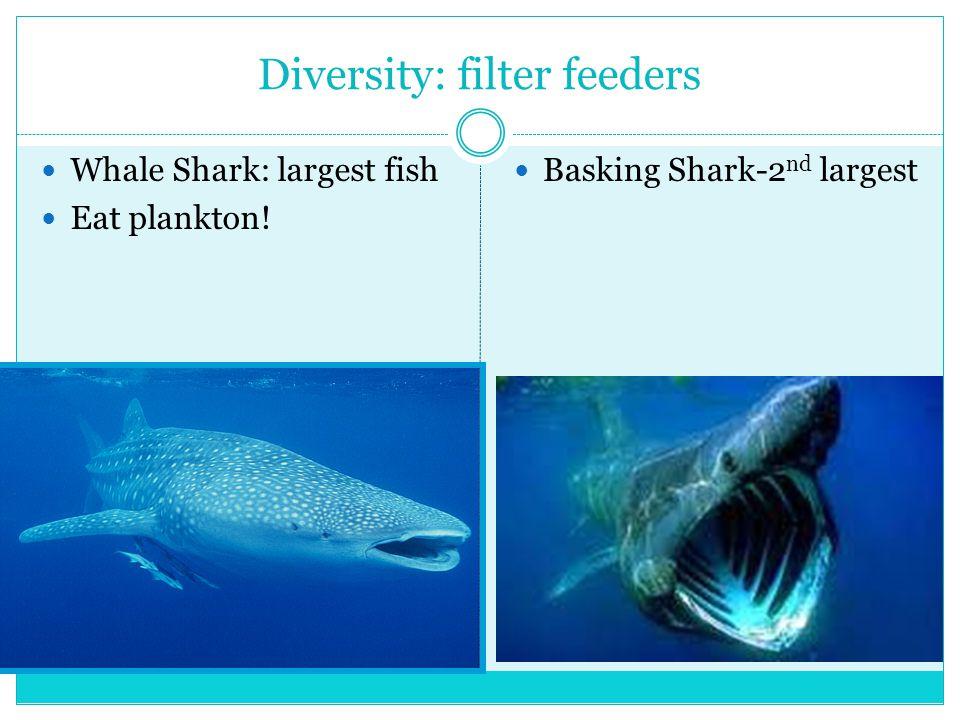 Diversity: filter feeders Whale Shark: largest fish Eat plankton! Basking Shark-2 nd largest