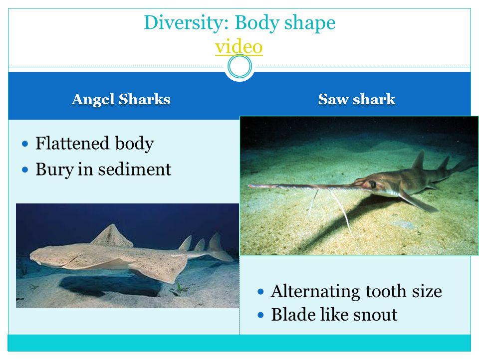 Angel Sharks Saw shark Flattened body Bury in sediment Diversity: Body shape video video Alternating tooth size Blade like snout