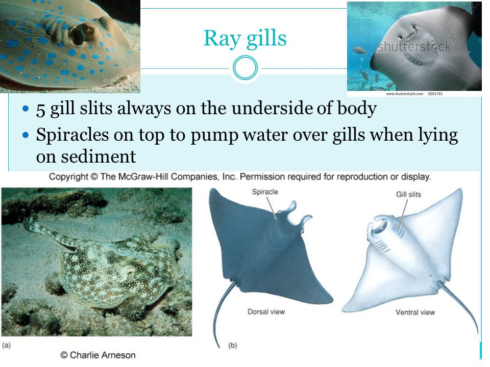 Ray gills 5 gill slits always on the underside of body Spiracles on top to pump water over gills when lying on sediment