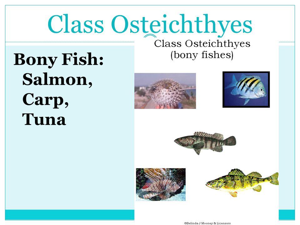 Class Osteichthyes Bony Fish: Salmon, Carp, Tuna
