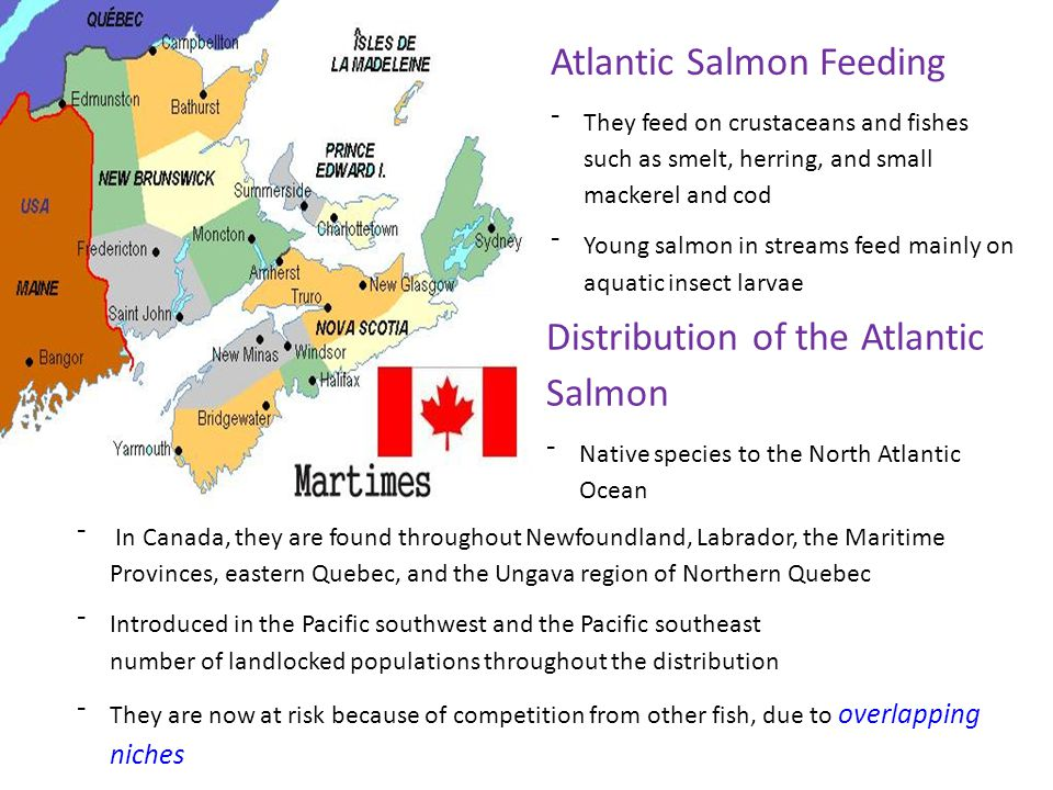 Distribution of the Atlantic Salmon ⁻Native species to the North Atlantic Ocean Atlantic Salmon Feeding ⁻They feed on crustaceans and fishes such as s