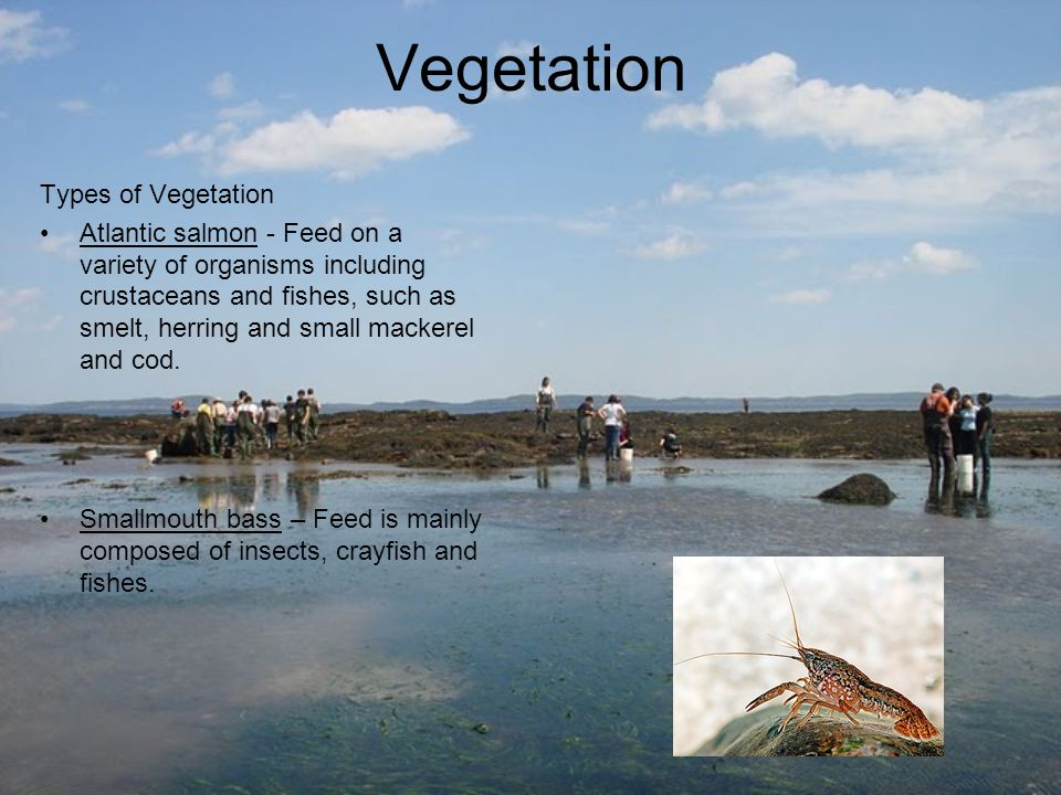 Vegetation Types of Vegetation Atlantic salmon - Feed on a variety of organisms including crustaceans and fishes, such as smelt, herring and small mac