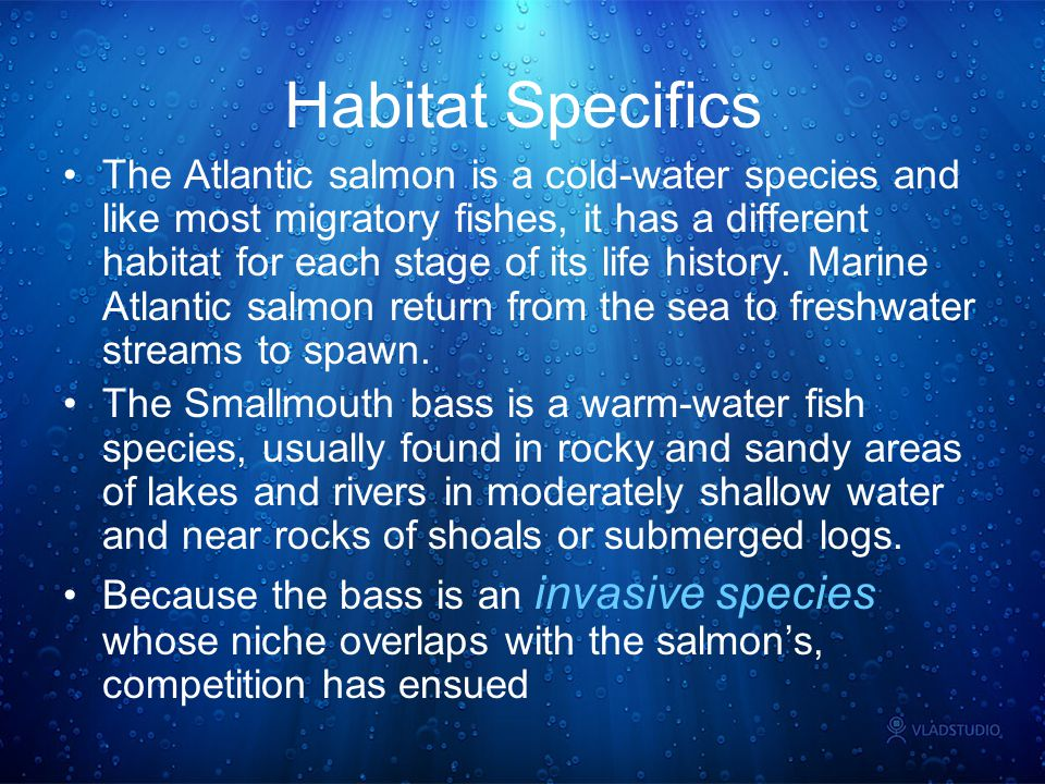 Habitat Specifics The Atlantic salmon is a cold-water species and like most migratory fishes, it has a different habitat for each stage of its life hi
