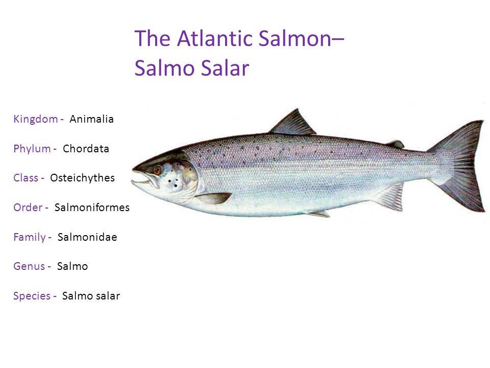 The Atlantic Salmon– Salmo Salar Kingdom - Animalia Phylum - Chordata Class - Osteichythes Order - Salmoniformes Family - Salmonidae Genus - Salmo Species - Salmo salar