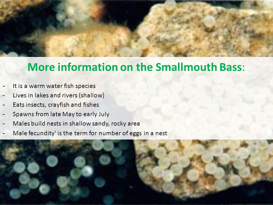 More information on the Smallmouth Bass: - It is a warm water fish species - Lives in lakes and rivers (shallow) - Eats insects, crayfish and fishes - Spawns from late May to early July - Males build nests in shallow sandy, rocky area - Male fecundity is the term for number of eggs in a nest