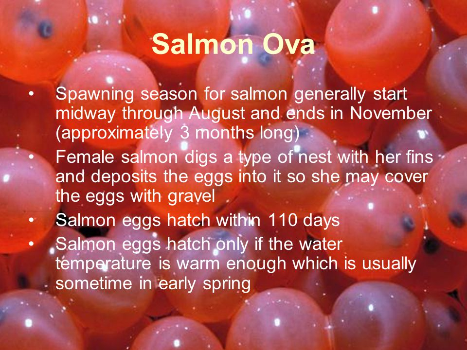 Spawning season for salmon generally start midway through August and ends in November (approximately 3 months long) Female salmon digs a type of nest