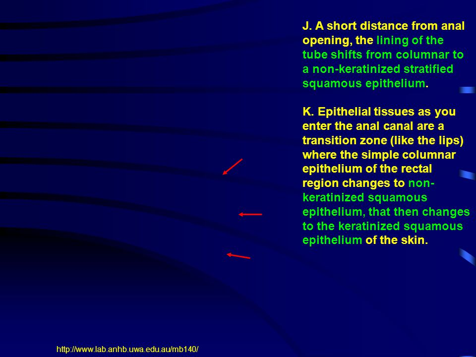 J. A short distance from anal opening, the lining of the tube shifts from columnar to a non-keratinized stratified squamous epithelium. K. Epithelial