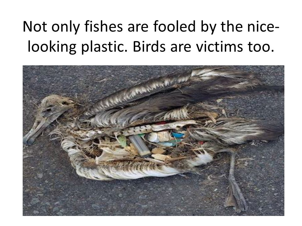 Not only fishes are fooled by the nice- looking plastic. Birds are victims too.