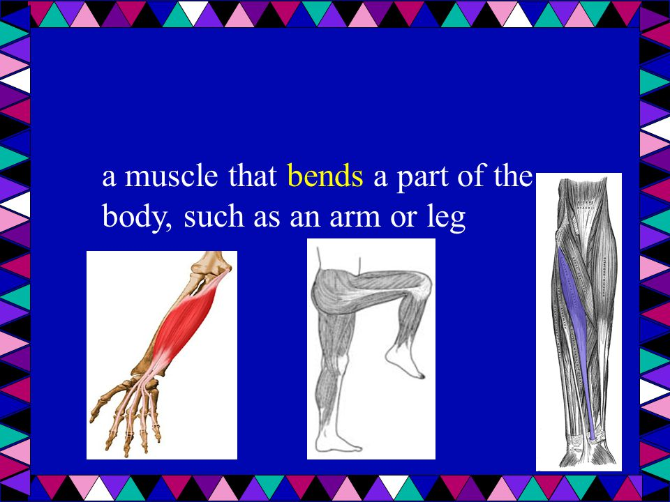 a muscle that bends a part of the body, such as an arm or leg
