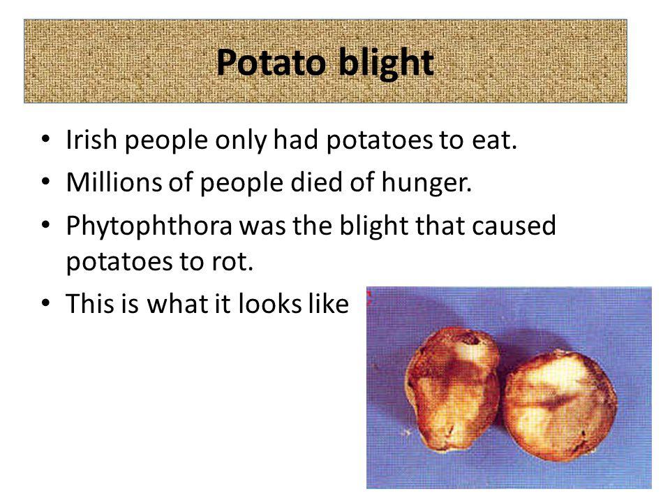 Potato blight Irish people only had potatoes to eat.