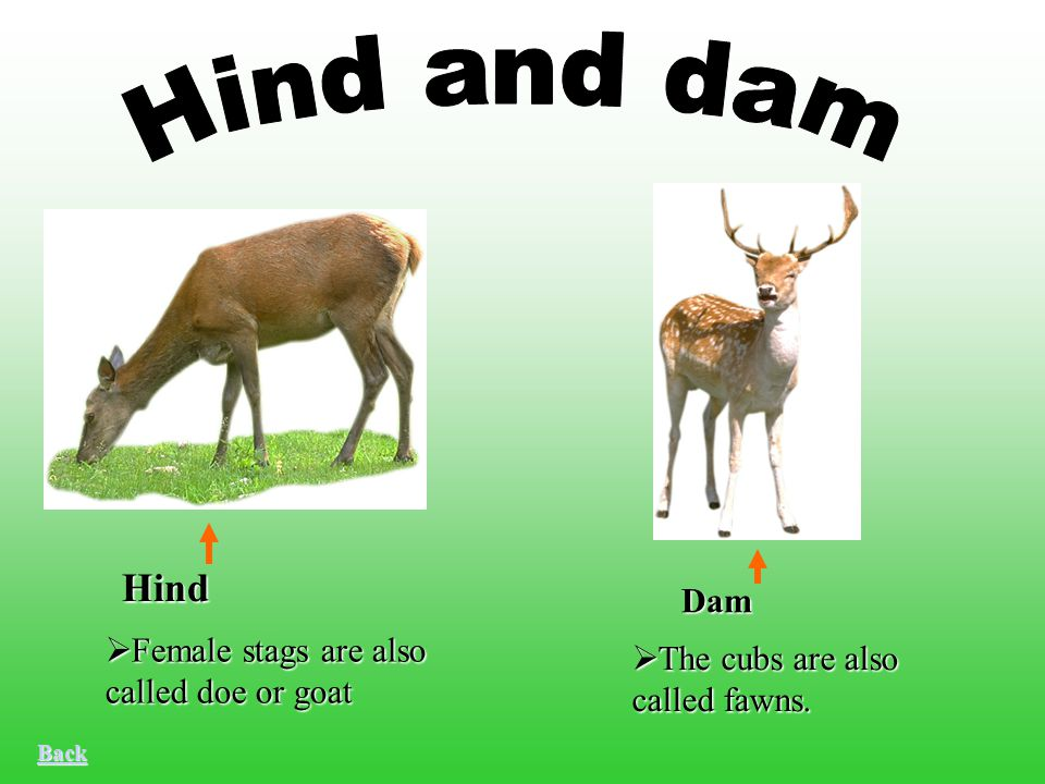  Female stags are also called doe or goat  The cubs are also called fawns. Hind Dam Back