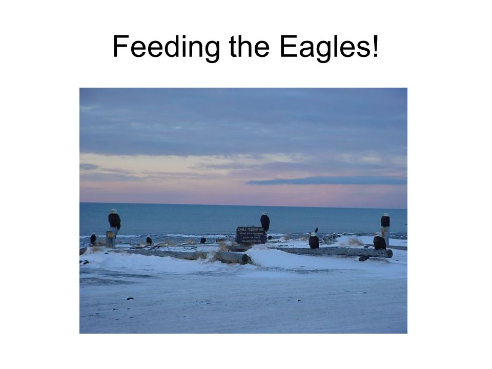 Feeding the Eagles!