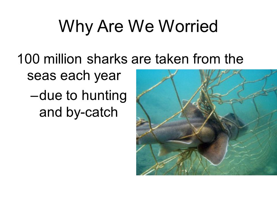 Why Are We Worried 100 million sharks are taken from the seas each year –due to hunting and by-catch
