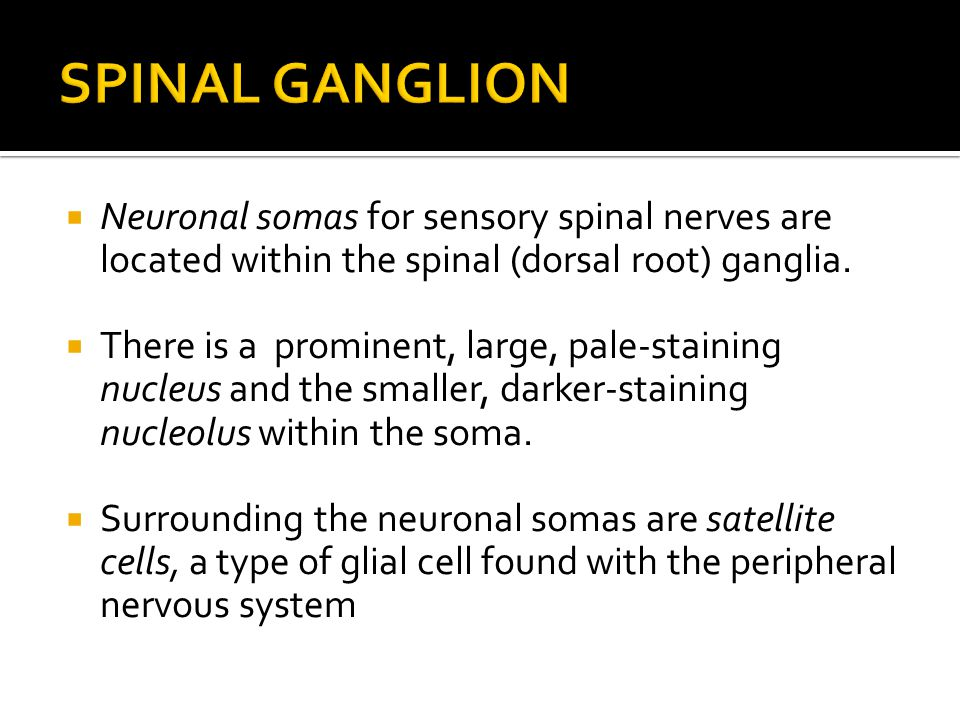  Neuronal somas for sensory spinal nerves are located within the spinal (dorsal root) ganglia.