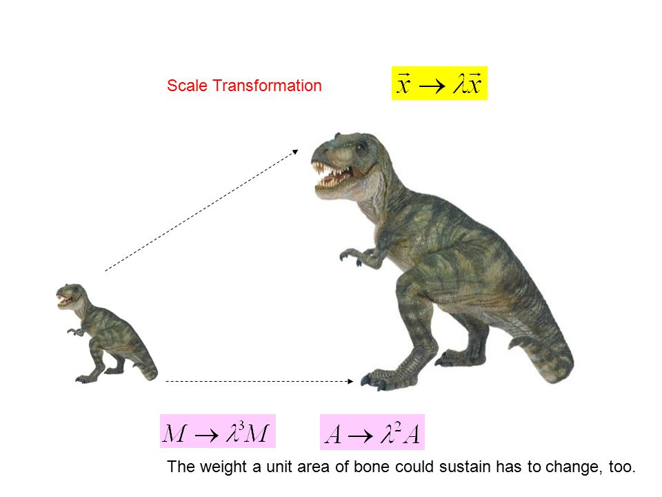 Scale Transformation The weight a unit area of bone could sustain has to change, too.