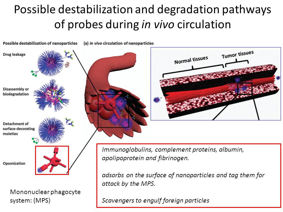 Possible destabilization and degradation pathways of probes during in vivo circulation Immunoglobulins, complement proteins, albumin, apolipoprotein and fibrinogen.