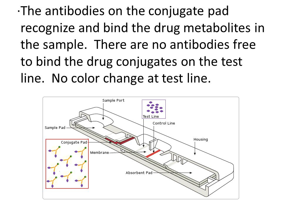 ·The antibodies on the conjugate pad recognize and bind the drug metabolites in the sample.
