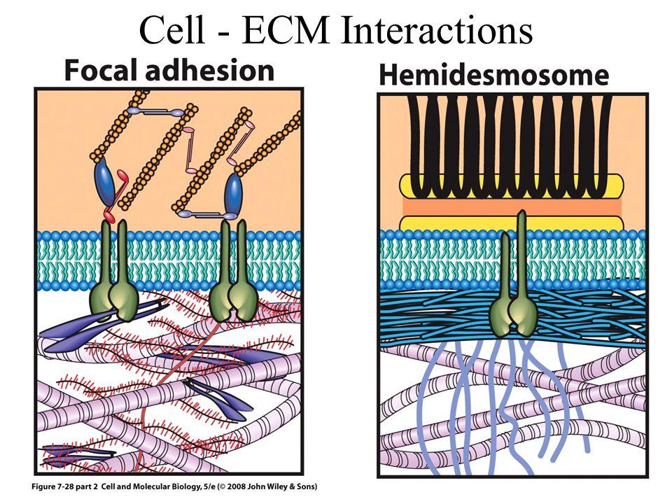 Cell - ECM Interactions