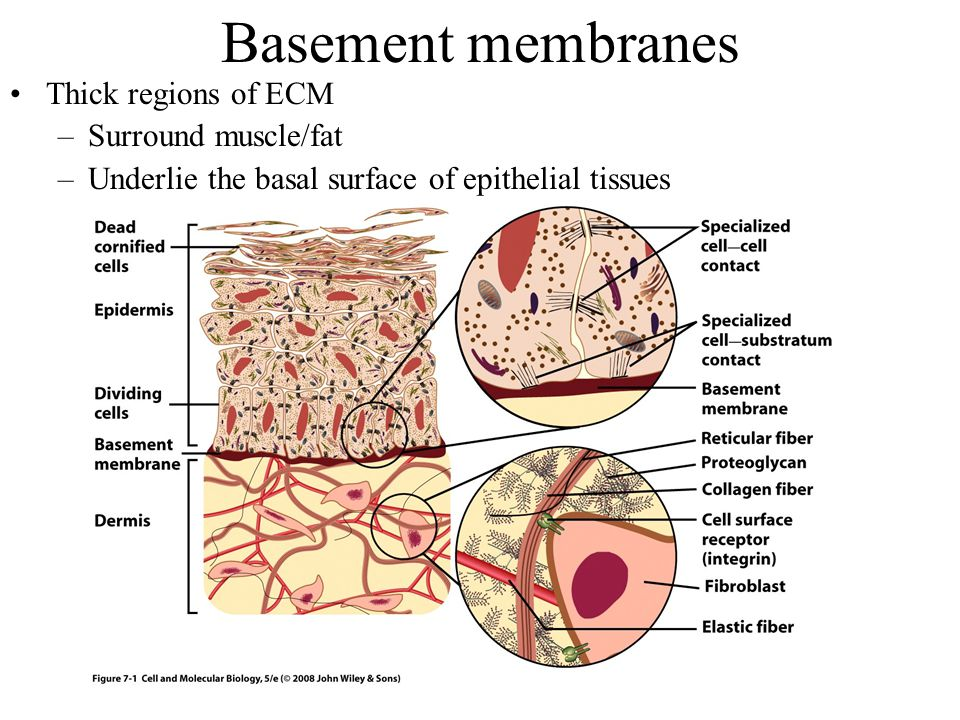 Basement membranes Thick regions of ECM –Surround muscle/fat –Underlie the basal surface of epithelial tissues