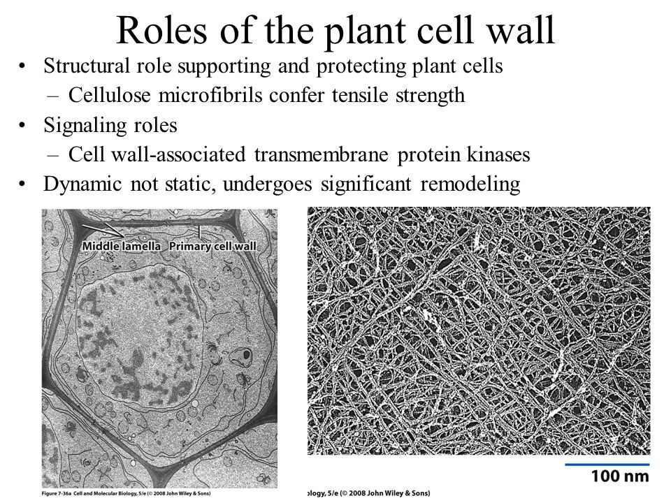 Roles of the plant cell wall Structural role supporting and protecting plant cells –Cellulose microfibrils confer tensile strength Signaling roles –Cell wall-associated transmembrane protein kinases Dynamic not static, undergoes significant remodeling