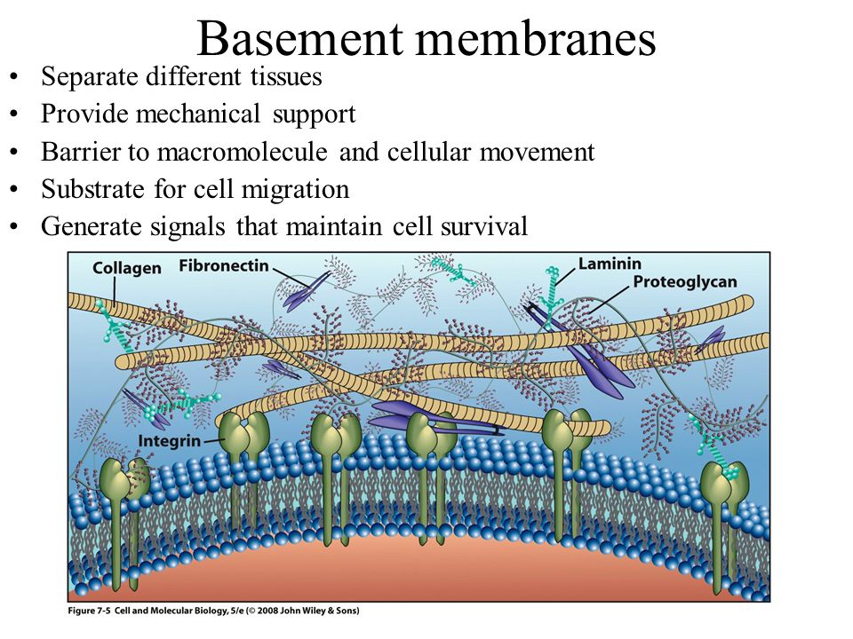 Basement membranes Separate different tissues Provide mechanical support Barrier to macromolecule and cellular movement Substrate for cell migration Generate signals that maintain cell survival