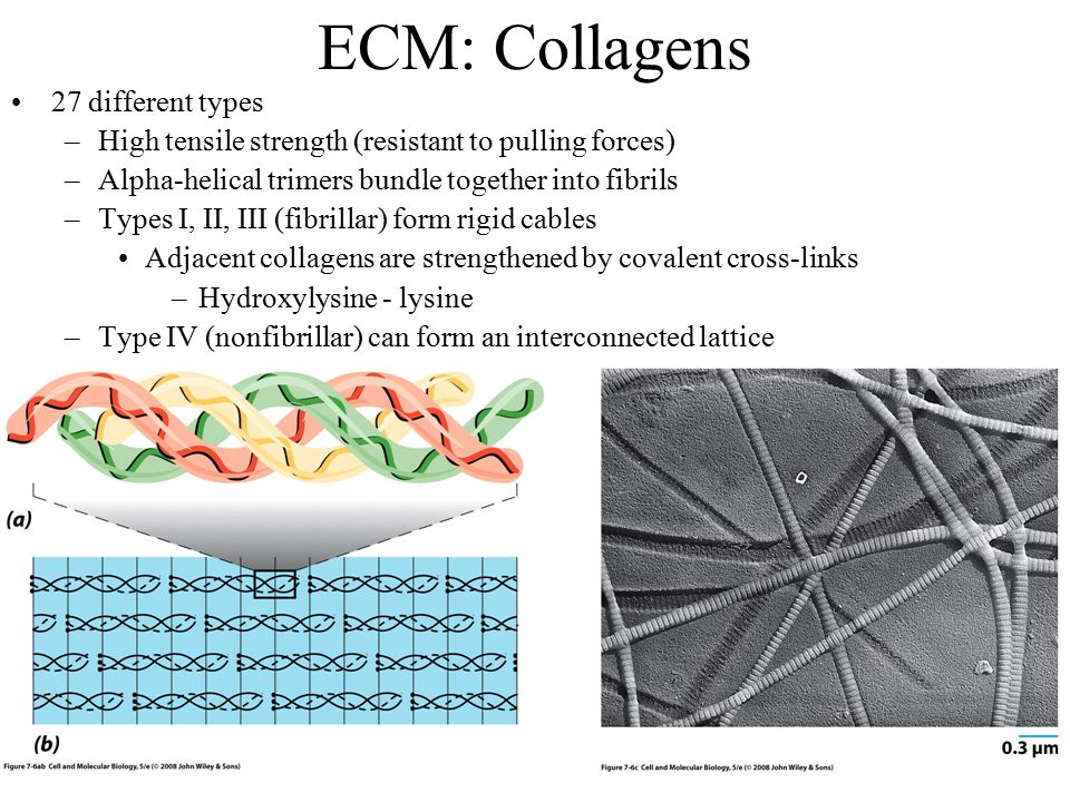 ECM: Collagens 27 different types –High tensile strength (resistant to pulling forces) –Alpha-helical trimers bundle together into fibrils –Types I, II, III (fibrillar) form rigid cables Adjacent collagens are strengthened by covalent cross-links –Hydroxylysine - lysine –Type IV (nonfibrillar) can form an interconnected lattice