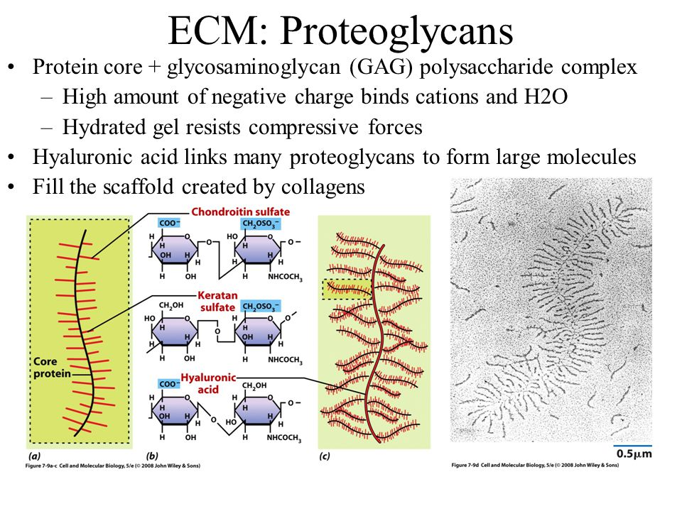 ECM: Proteoglycans Protein core + glycosaminoglycan (GAG) polysaccharide complex –High amount of negative charge binds cations and H2O –Hydrated gel resists compressive forces Hyaluronic acid links many proteoglycans to form large molecules Fill the scaffold created by collagens