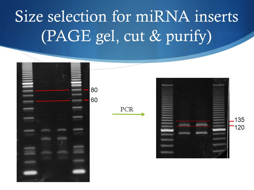 Size selection for miRNA inserts (PAGE gel, cut & purify) 80 60 PCR 135 120