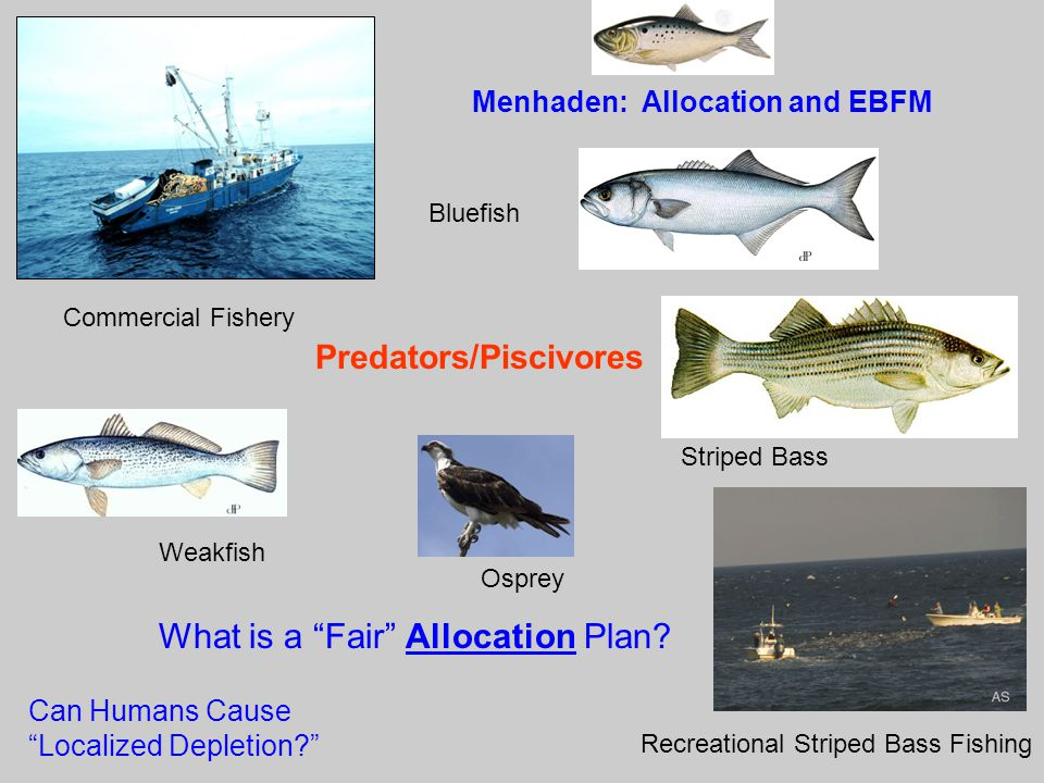 "Bluefish Weakfish Striped Bass Predators/Piscivores Commercial Fishery What is a ""Fair"" Allocation Plan? Can Humans Cause ""Localized Depletion?"" Recre"