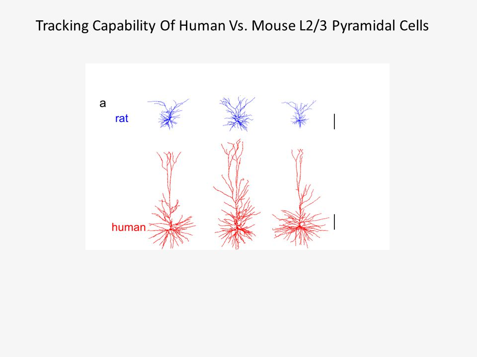 Tracking Capability Of Human Vs. Mouse L2/3 Pyramidal Cells