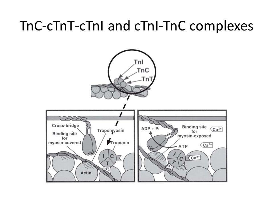 TnC-cTnT-cTnI and cTnI-TnC complexes