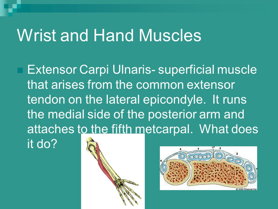 Wrist and Hand Muscles Extensor Carpi Ulnaris- superficial muscle that arises from the common extensor tendon on the lateral epicondyle. It runs the m