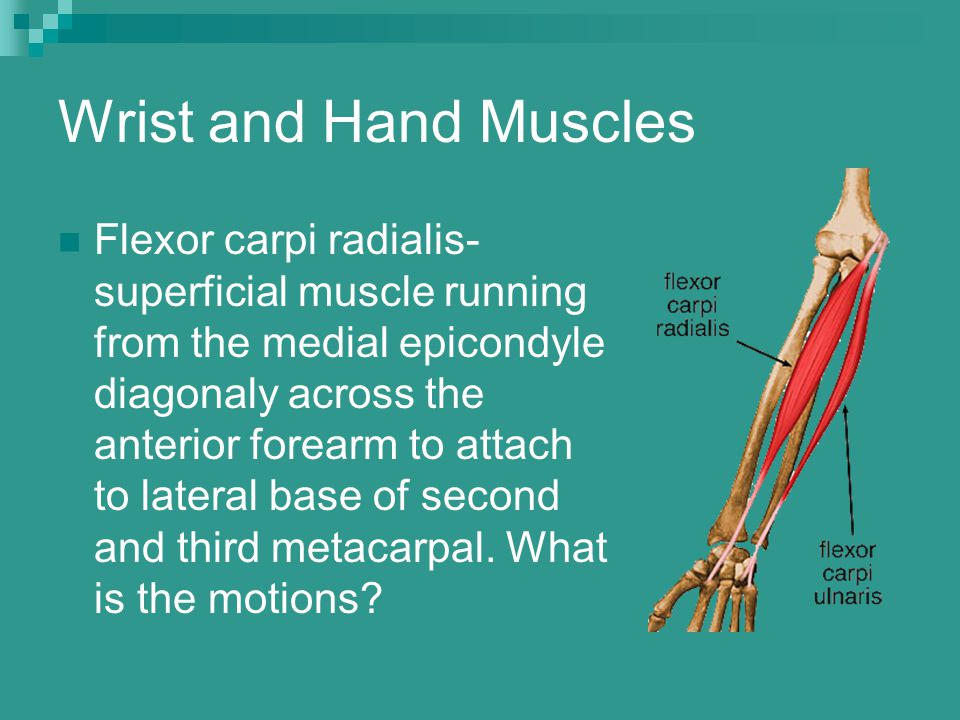 Wrist and Hand Muscles Flexor carpi radialis- superficial muscle running from the medial epicondyle diagonaly across the anterior forearm to attach to