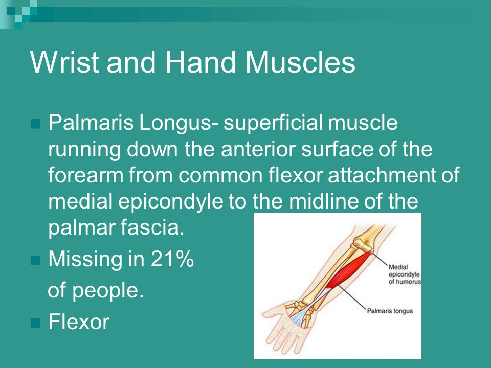 Wrist and Hand Muscles Palmaris Longus- superficial muscle running down the anterior surface of the forearm from common flexor attachment of medial ep