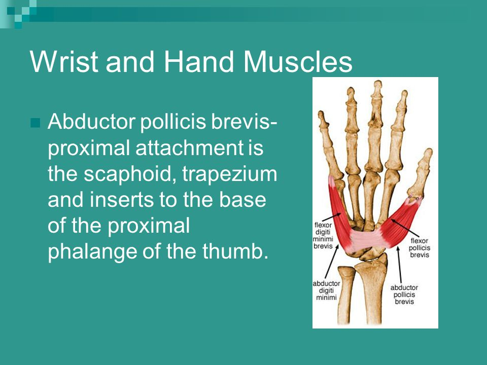 Wrist and Hand Muscles Abductor pollicis brevis- proximal attachment is the scaphoid, trapezium and inserts to the base of the proximal phalange of th