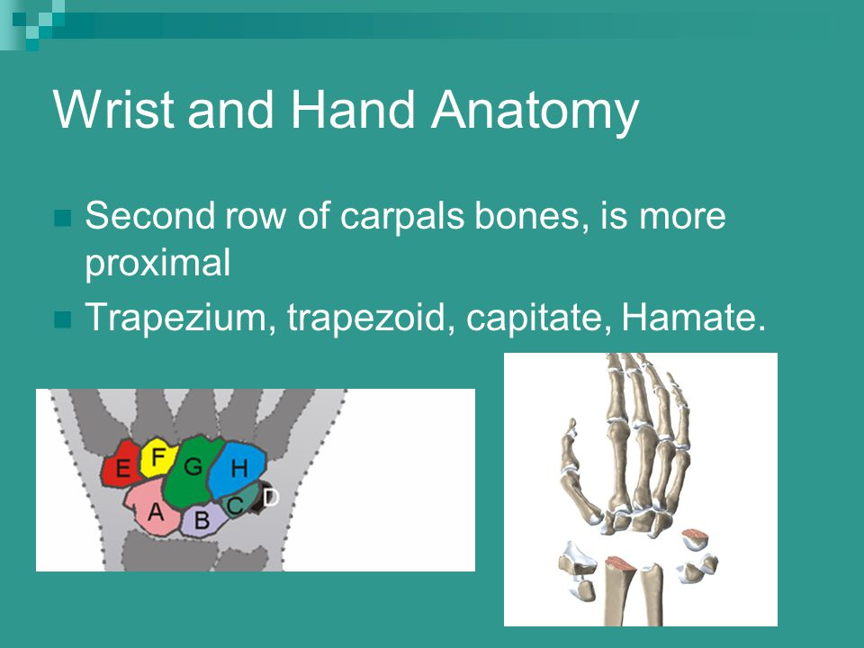 Wrist and Hand Anatomy Second row of carpals bones, is more proximal Trapezium, trapezoid, capitate, Hamate.