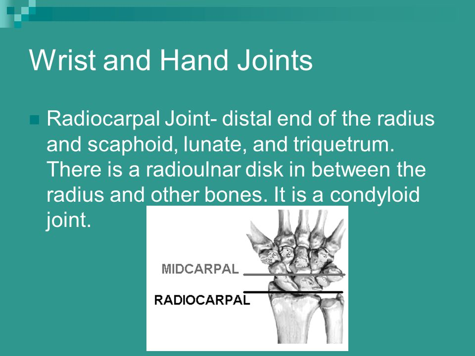 Wrist and Hand Joints Radiocarpal Joint- distal end of the radius and scaphoid, lunate, and triquetrum. There is a radioulnar disk in between the radi