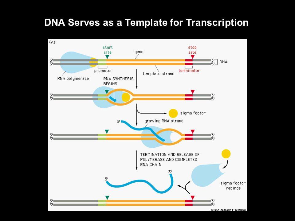 Translation of Prokaryotic and Eukaryotic RNA