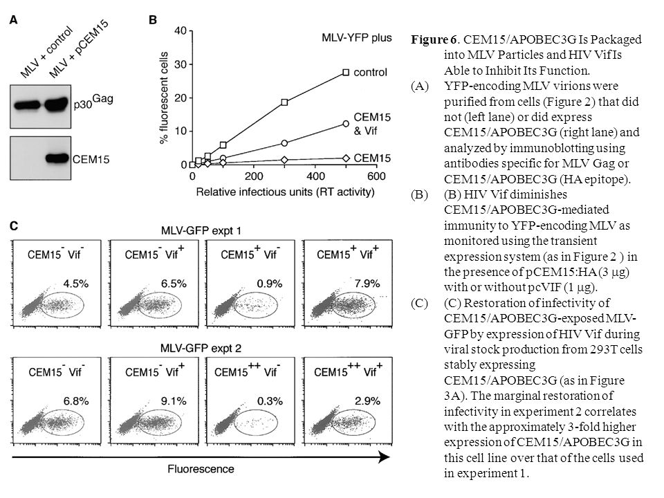 Figure 6. CEM15/APOBEC3G Is Packaged into MLV Particles and HIV Vif Is Able to Inhibit Its Function. (A)YFP-encoding MLV virions were purified from ce