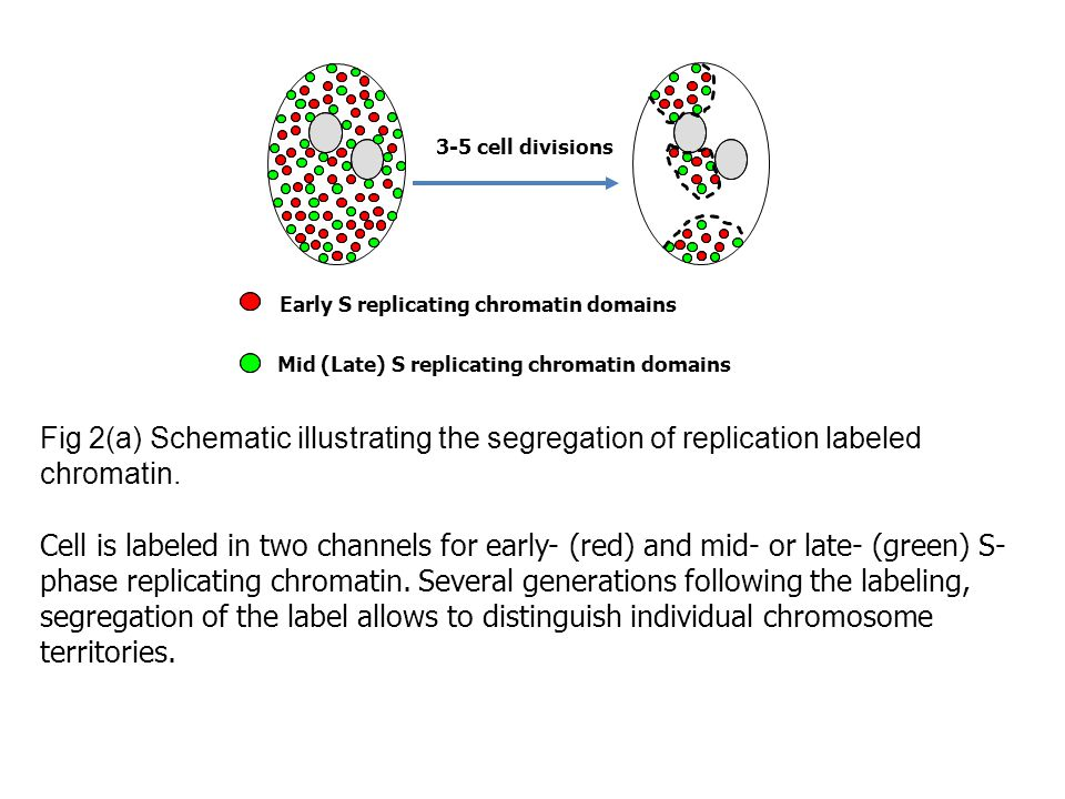 Fig 2(a) Schematic illustrating the segregation of replication labeled chromatin.