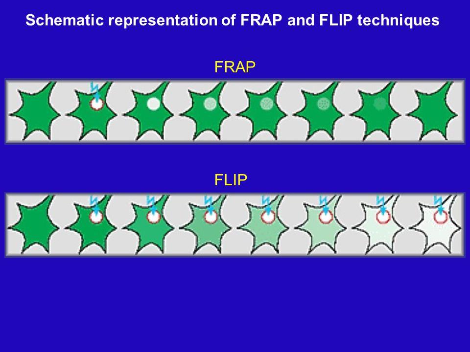 FRAP FLIP Schematic representation of FRAP and FLIP techniques