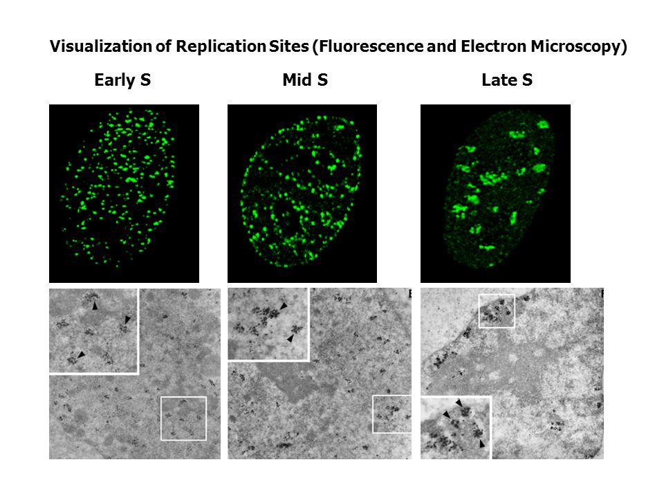 Conclusion 2, Figure 2 - 4 FRAP and FLIP experiments indicate energy independent high mobility for SF2/ASF, fibrillarin, and HMG-17 proteins.
