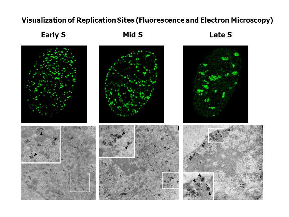 Chromatin dynamics is correlated with replication timing Pliss A, Malyavantham K, Bhattacharya S, Zeitz M, Berezney R.