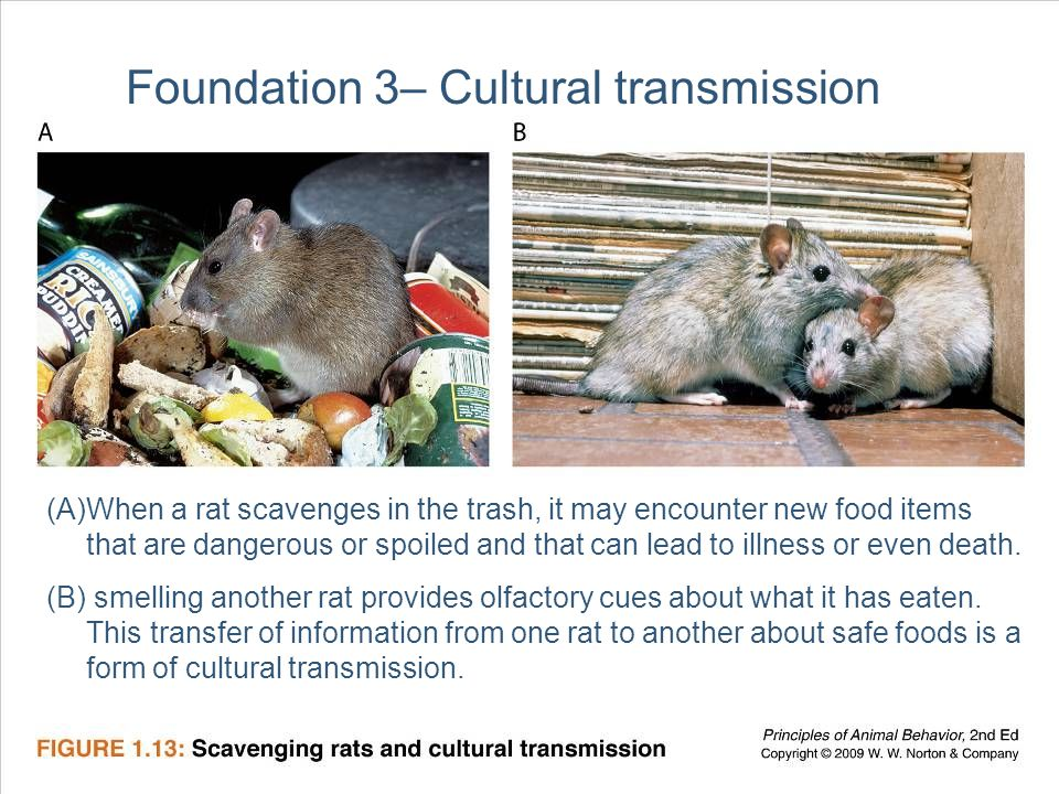 25 Foundation 3– Cultural transmission (A)When a rat scavenges in the trash, it may encounter new food items that are dangerous or spoiled and that can lead to illness or even death.