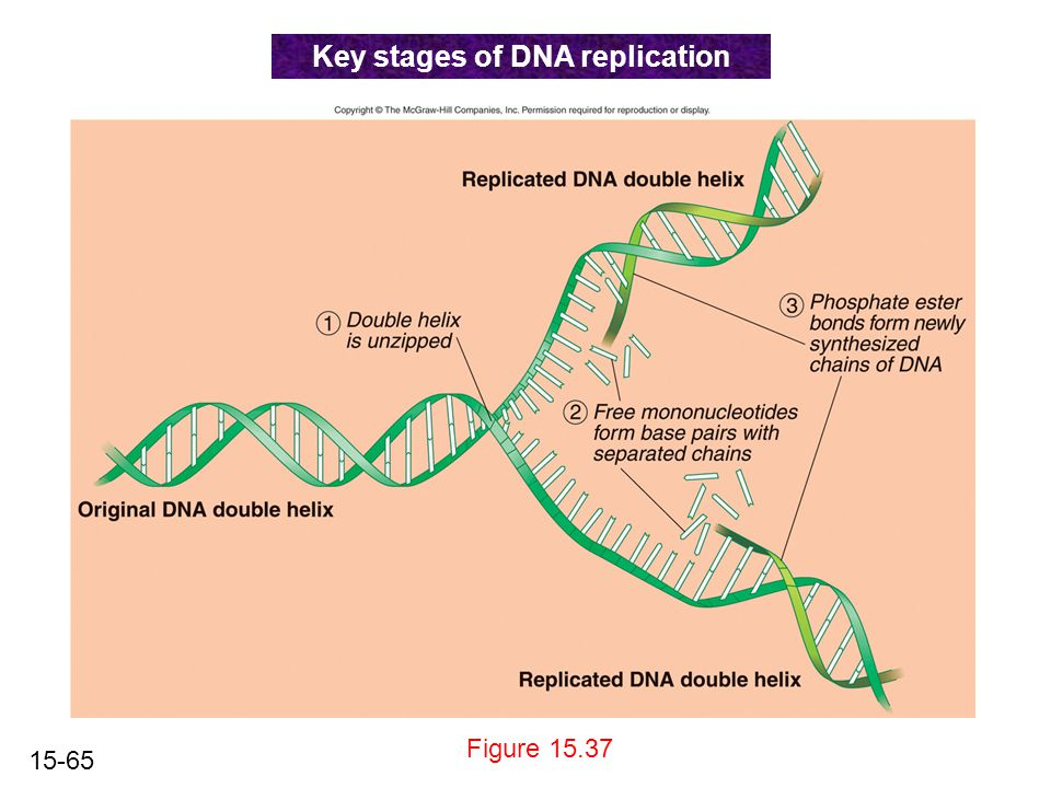 15-65 Figure 15.37 Key stages of DNA replication