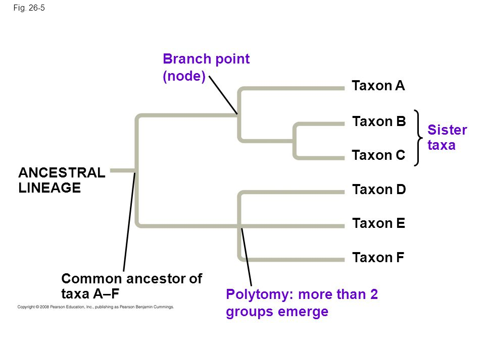Fig. 26-5 Sister taxa ANCESTRAL LINEAGE Taxon A Polytomy: more than 2 groups emerge Common ancestor of taxa A–F Branch point (node) Taxon B Taxon C Ta