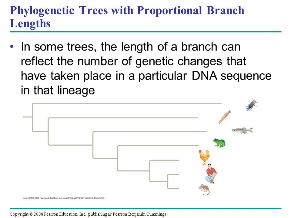 Copyright © 2008 Pearson Education, Inc., publishing as Pearson Benjamin Cummings Phylogenetic Trees with Proportional Branch Lengths In some trees, t